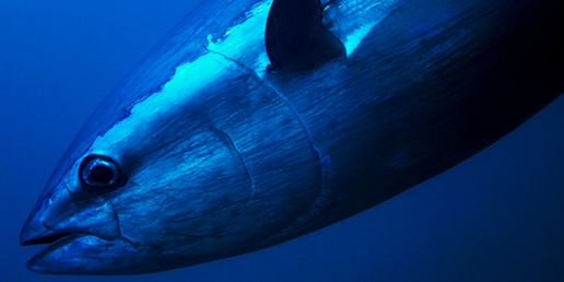 Image from MMO - https://marinedevelopments.blog.gov.uk/2017/09/04/bluefin-tuna-in-uk-waters/